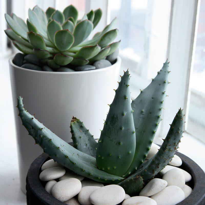 Kekkilä Kaktus- ja mehikasvimulta sopii kuivassa viihtyville kasveille
