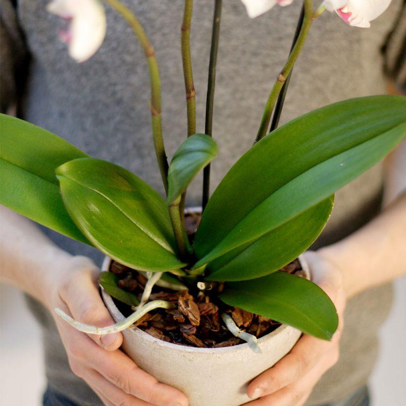 Kekkilä Orkideamulta 6 L käytössä