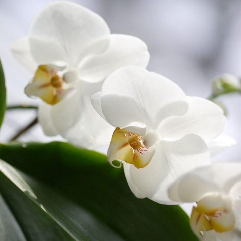 Kekkilä Orkideamulta on erikoiskasvualusta orkideoille