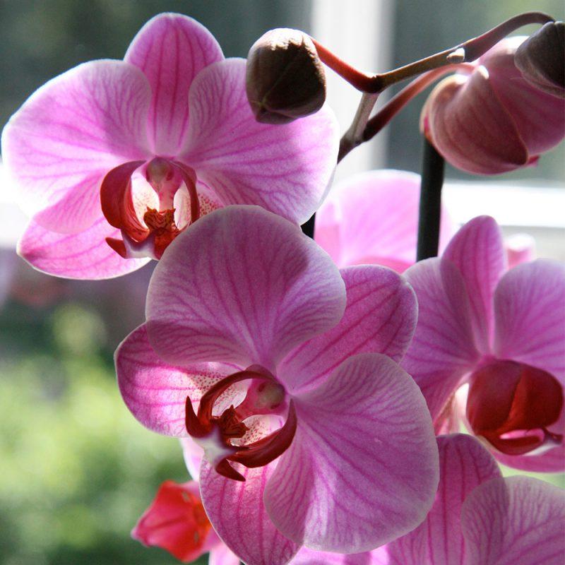 Kekkilä Orkideamulta on karkea ja vettä läpäisevä kasvualusta orkideoille