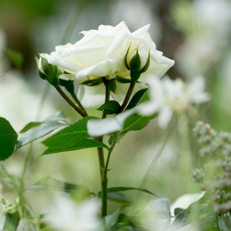 Kekkilä Talvisuoja ruusuille