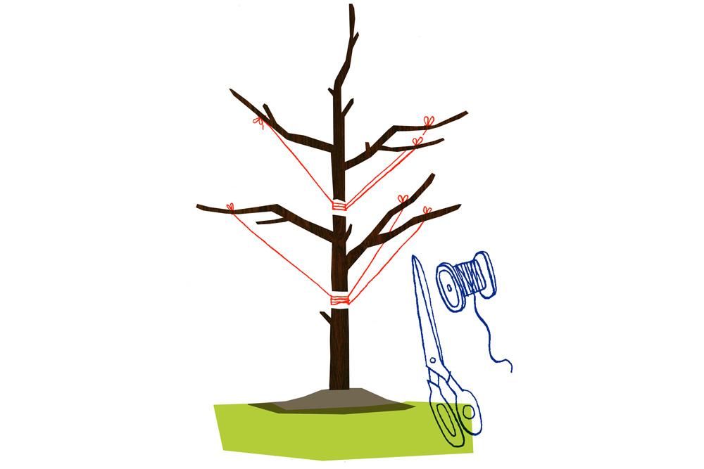 Omenapuun leikkaus vaihe 2