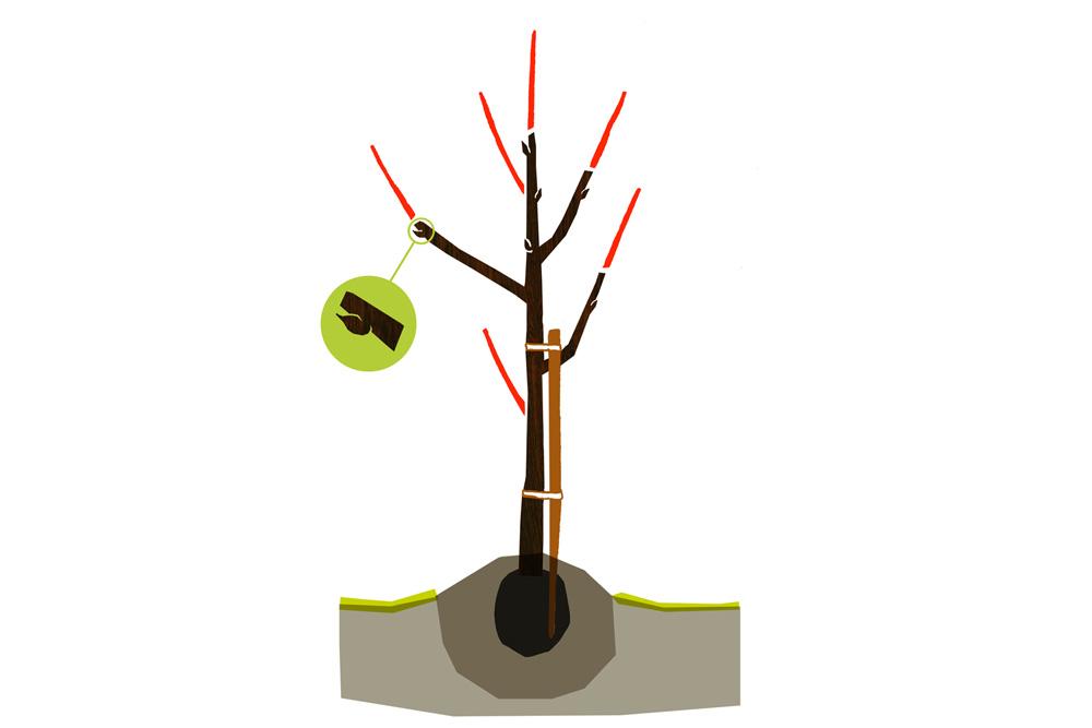 Omenapuun leikkaus vaihe 1