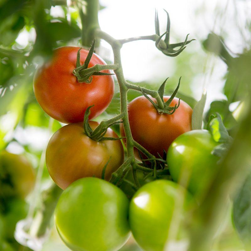 Maheväetis Tomatile
