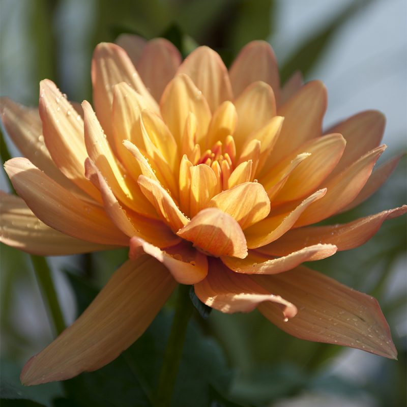 Daalia Dahlia hortensis, lummedaalia