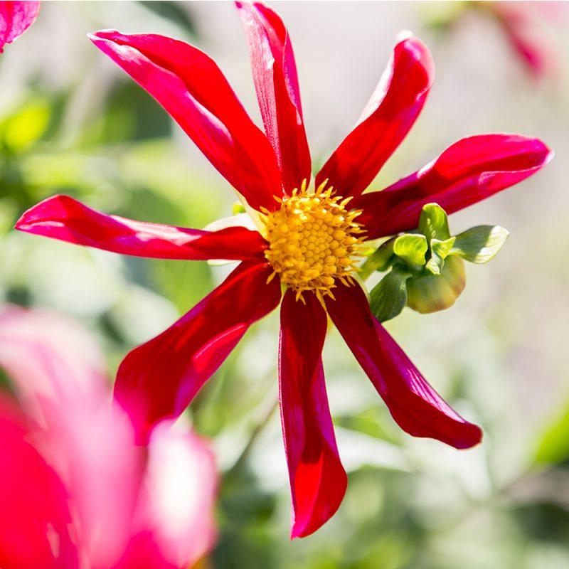 Daalia Dahlia hortensis, tarhadaalia punainen