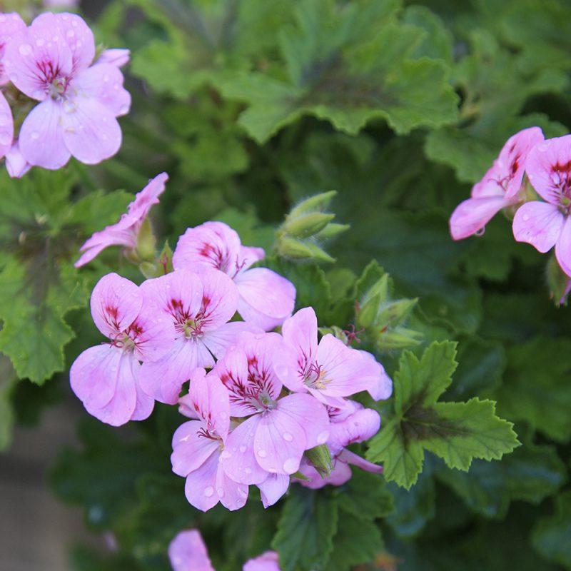 Enkelipelargoni Pelargonium 'Angeleyes', lila