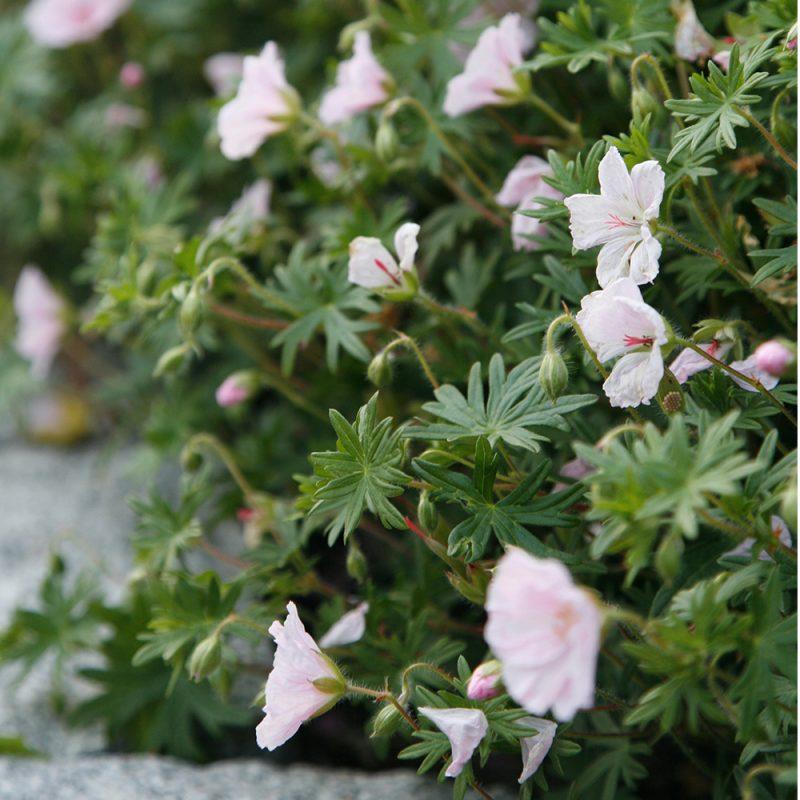 Harmaakurjenpolvi Geranium cinereum 'Ballerina', vaaleanpunainen