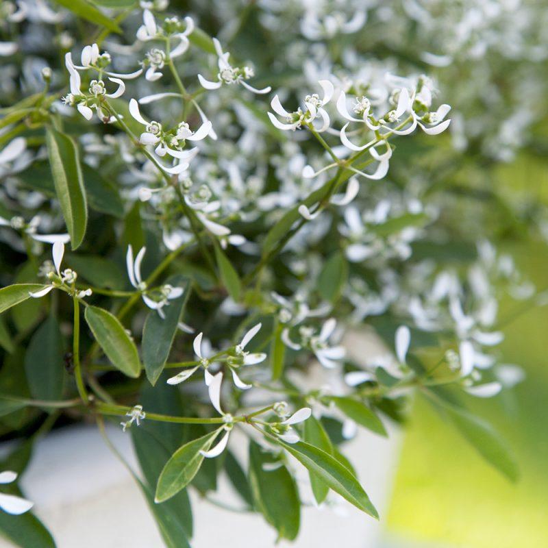 Harsotyräkki, poutapilvi Euphorbia hypericifolia