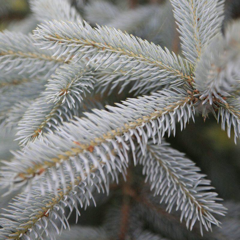 Hopeakuusi Picea pungens