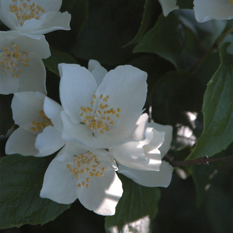 Hovijasmike Philadelphus pubescens tuomas