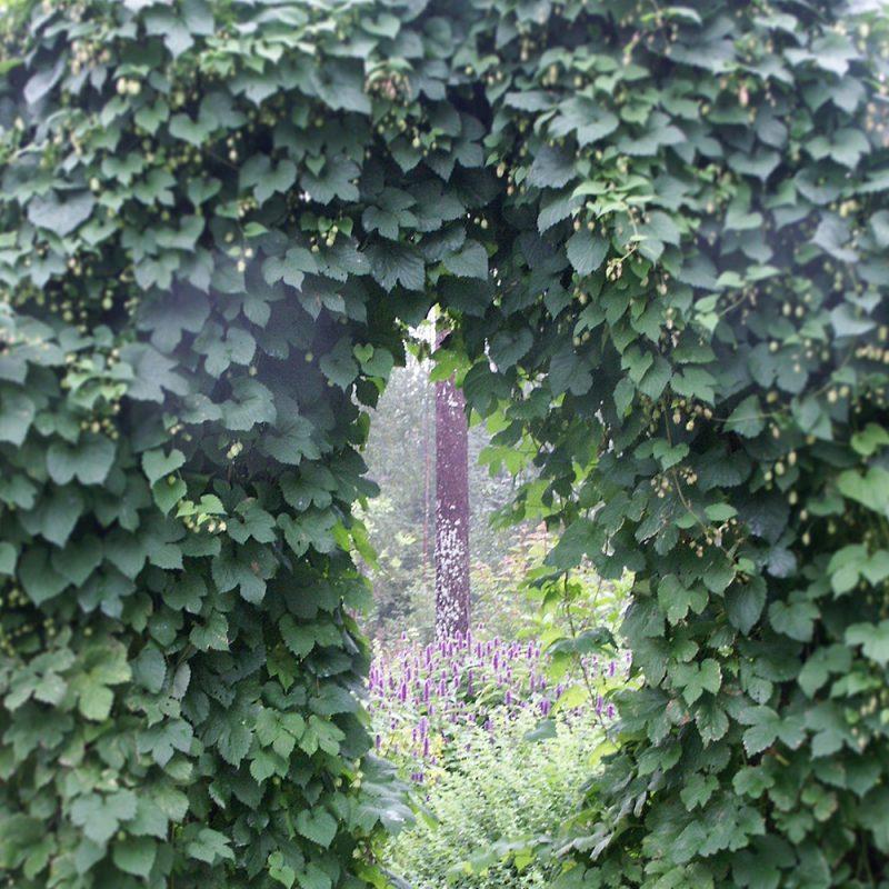 Humala-köynnös Humulus lupulus