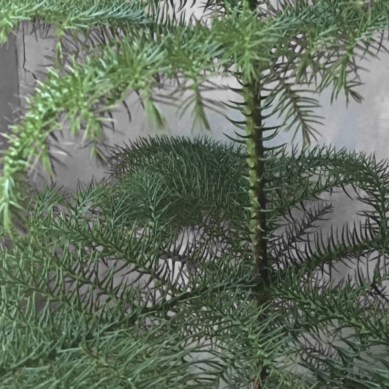 Huonekuusi Araucaria heterophylla