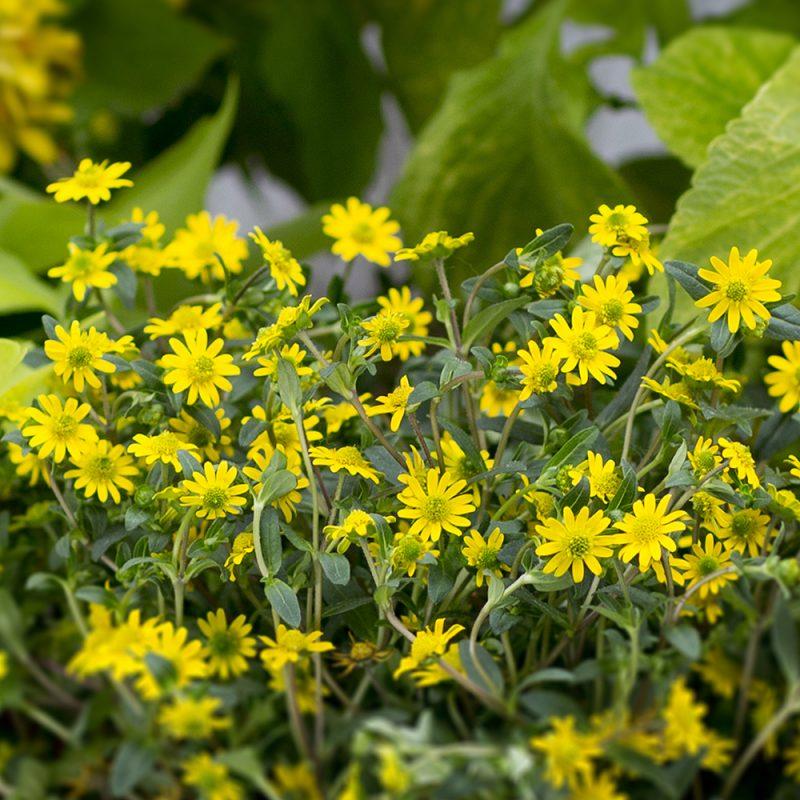 Huovinkukka Sanvitalia procumbens
