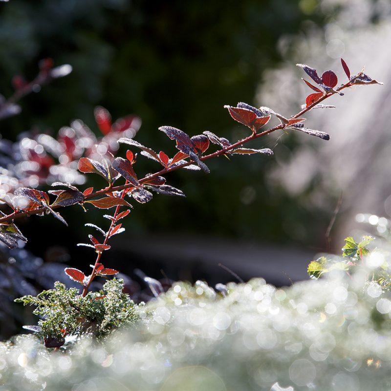 Hurmehappomarja Berberis × ottawensis 'Suberba'