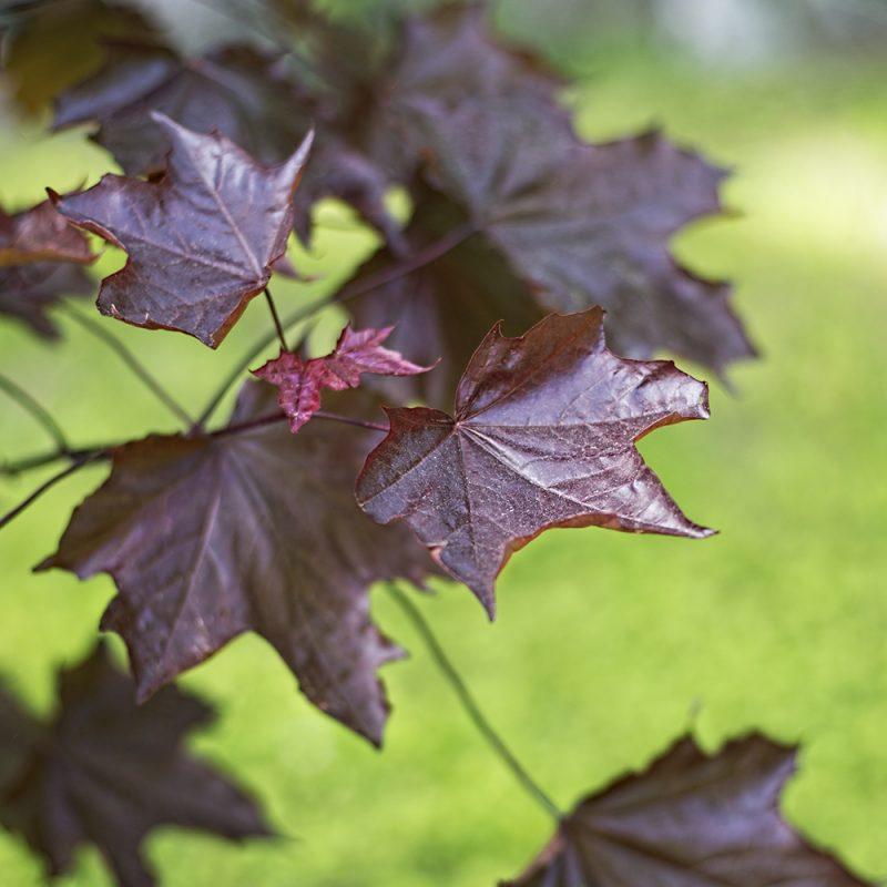 Hurmevaahtera Acer platanoides 'Faassens black' lehti