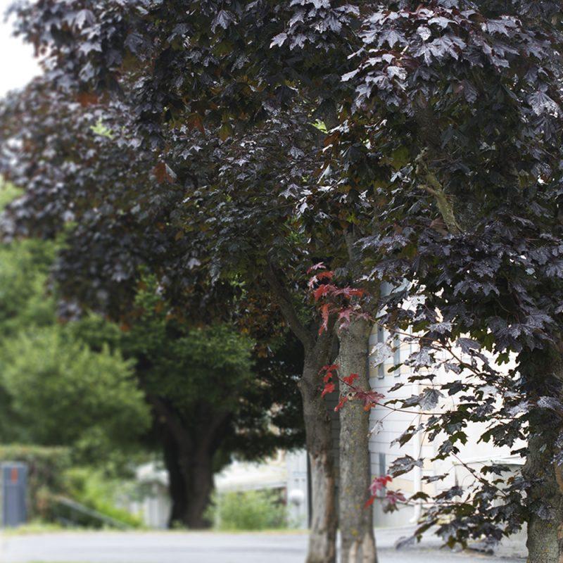 Hurmevaahtera Acer platanoides 'Faassens black'