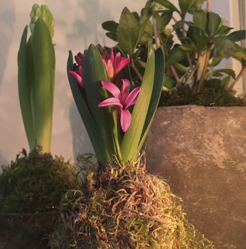 hyasintti hyacinthus kokedama