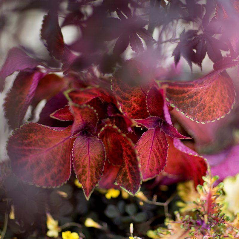 Isokirjopeippi Solenostemon scutellarioides punainen