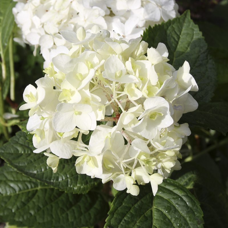 Jalohortensia Hydrangea 'Endless summer' The bride