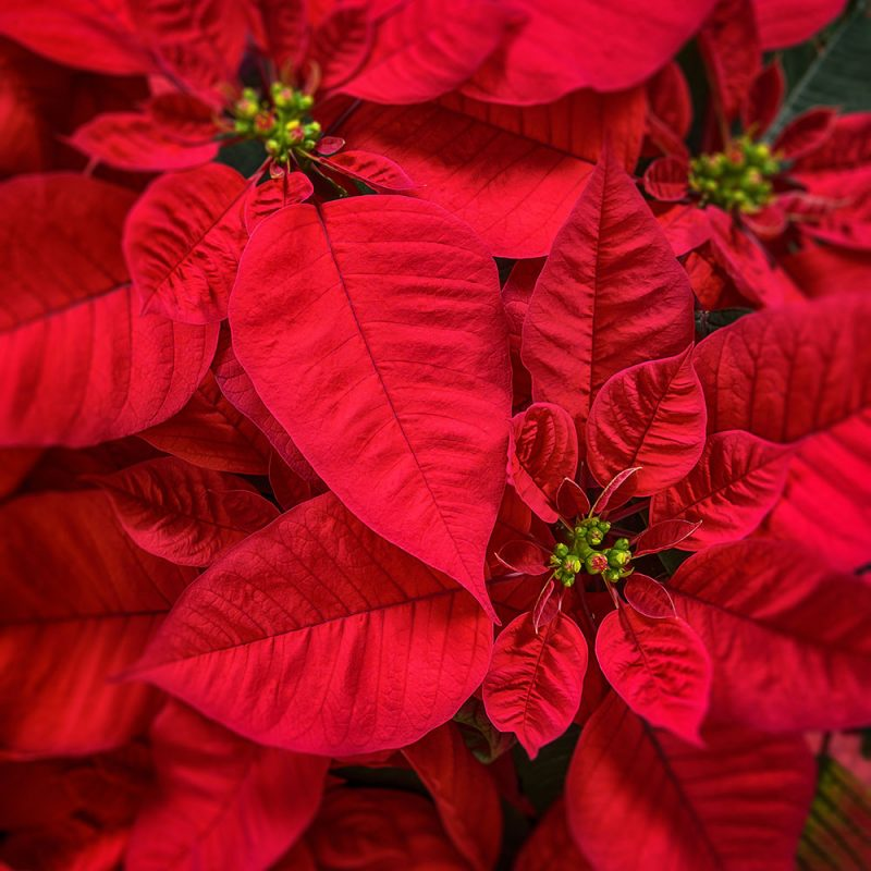 joulutähti punainen