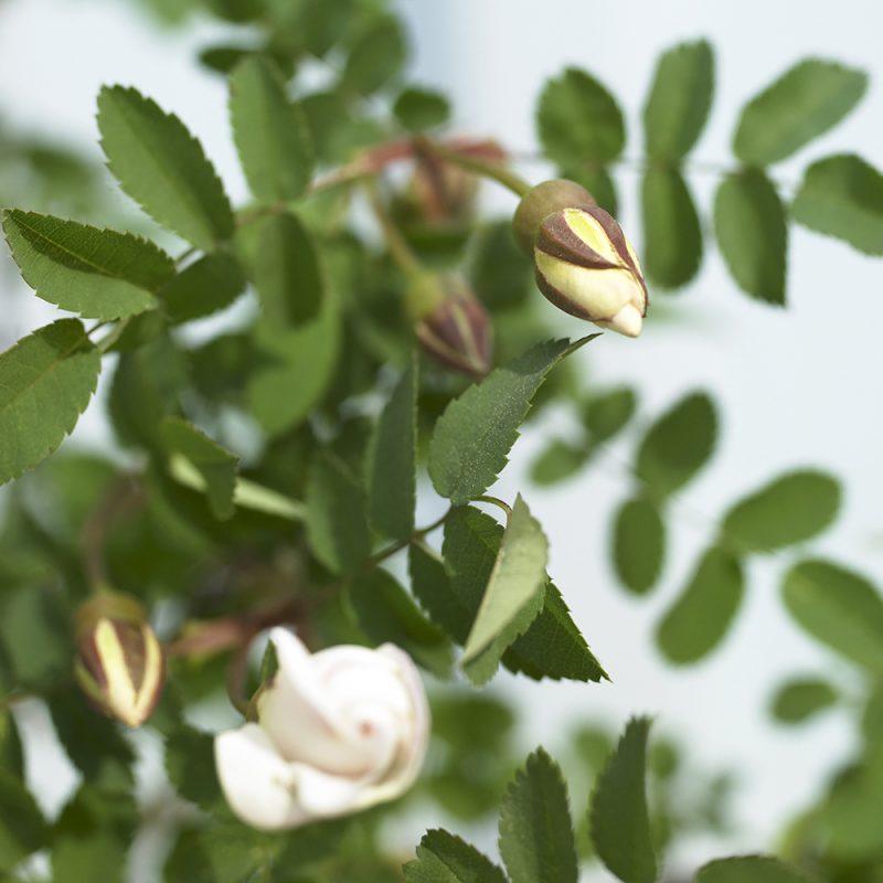 Juhannusruusu Rosa pimpinellifolia