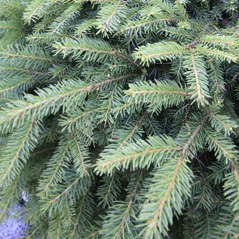 Kääpiömustakuusi Picea mariana 'Nana'