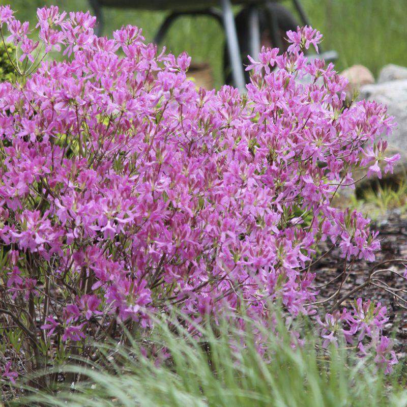 Kanadanatsalea Rhododendron canadense