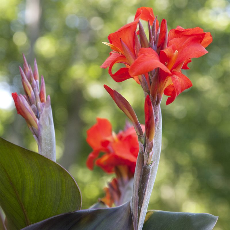 Kannan Canna x generalis punainen kukka