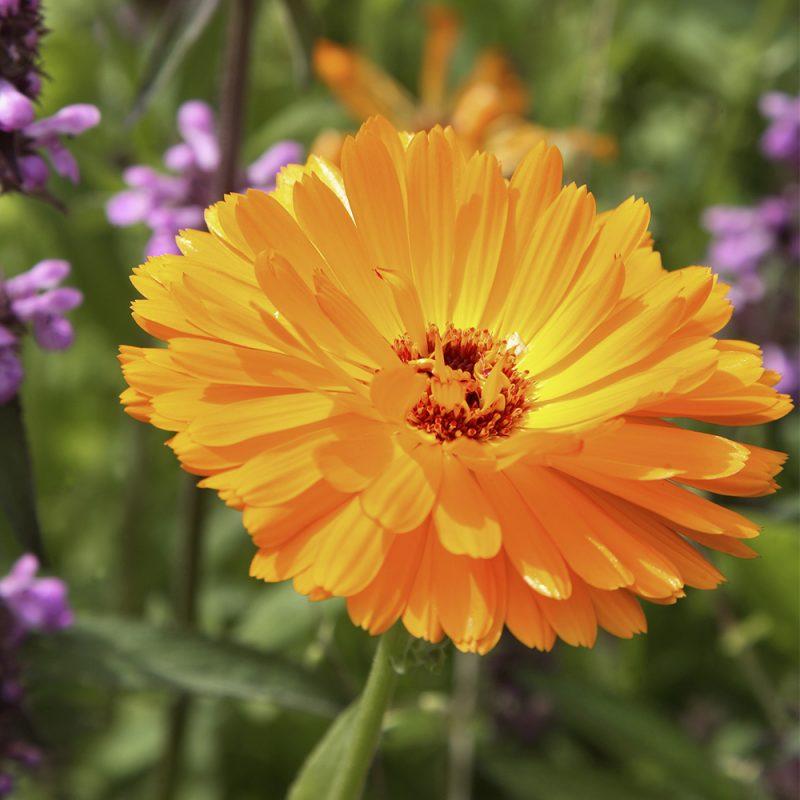 Kehäkukan Calendula officinalis oranssi kukka