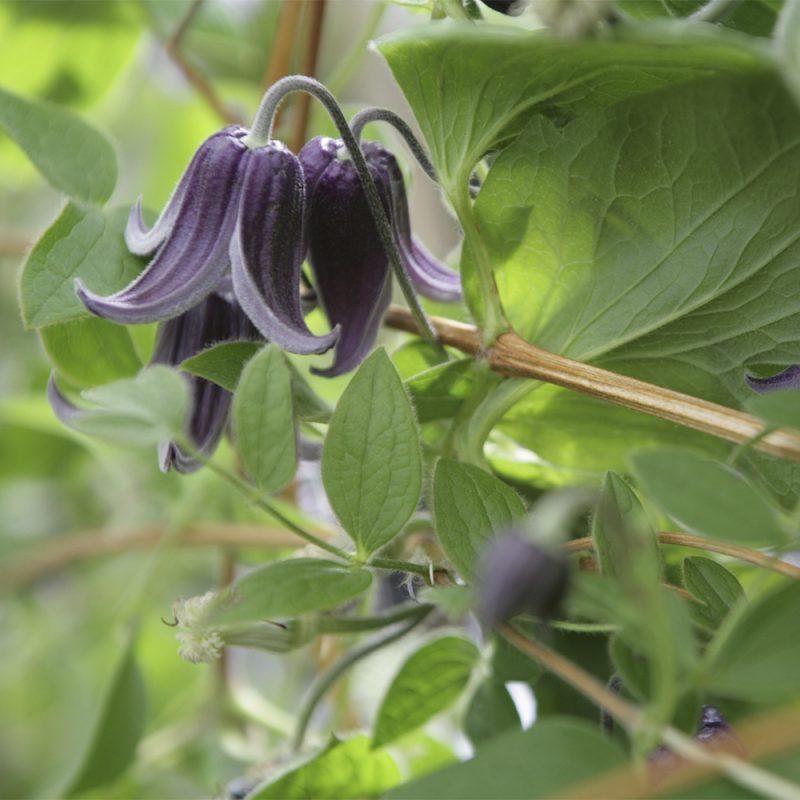 Kellokärhö Clematis integrifolia