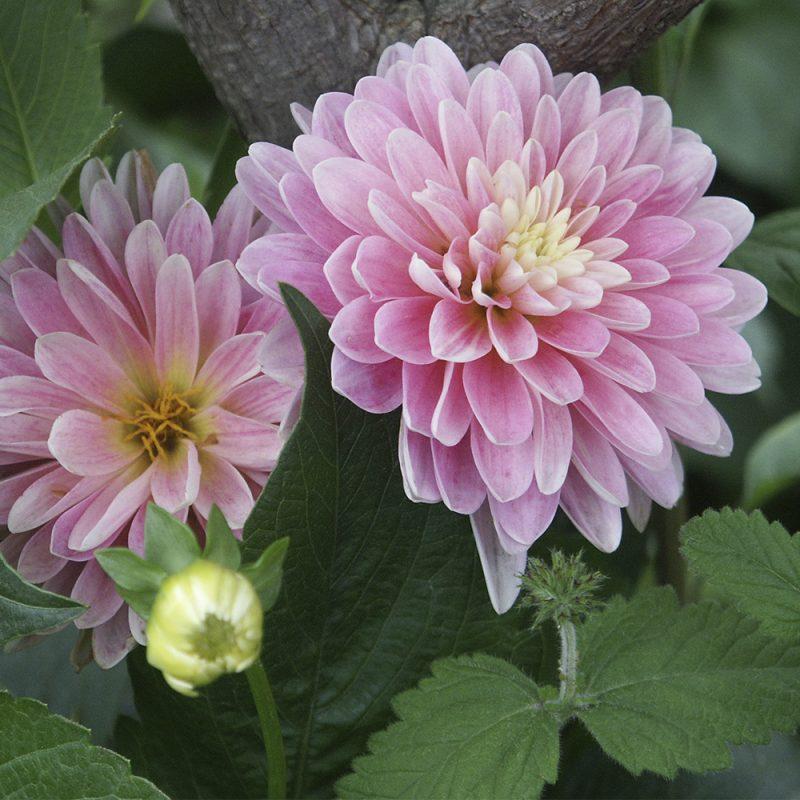 Kesädaalia Dahlia hortensis