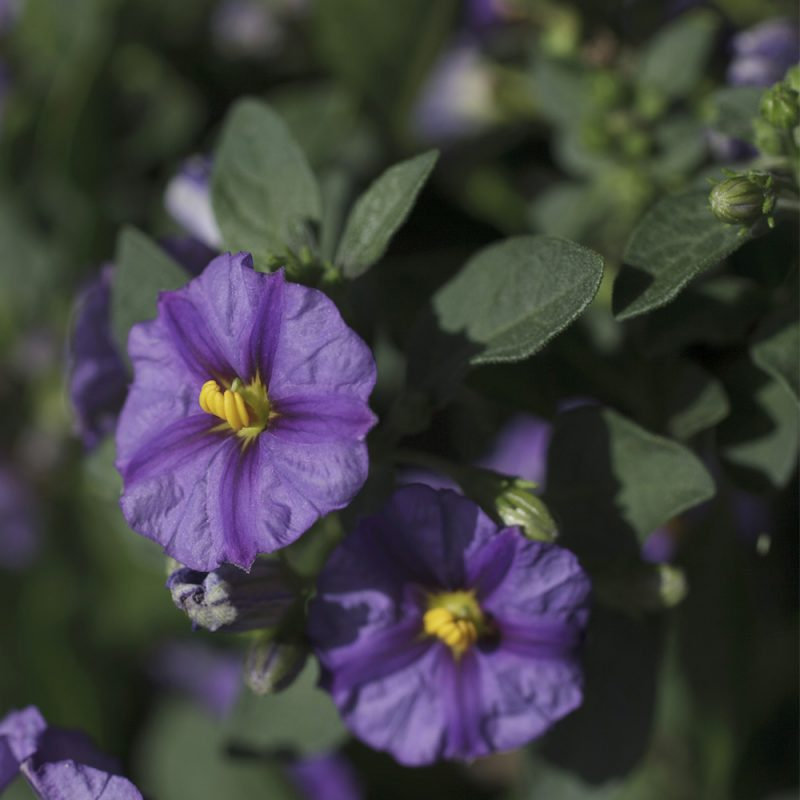 Kesäkoiso Solanum rantonettii
