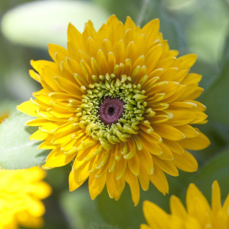 Kesäpäivänhattu Rudbeckia hirta keltainen kerrottu kukka