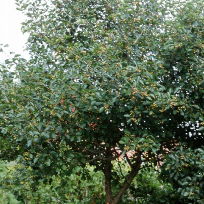 Kirsikka Prunus cerasus