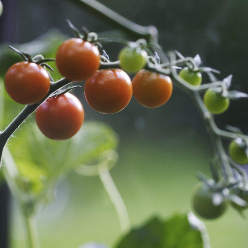 Kirsikkatomaatti Solanum lycopersicum