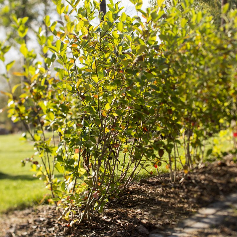 Koristearonia Aronia × prunifolia