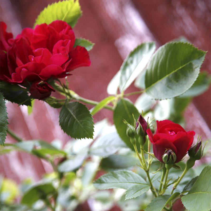 Köynnösruusu Rosa sp.