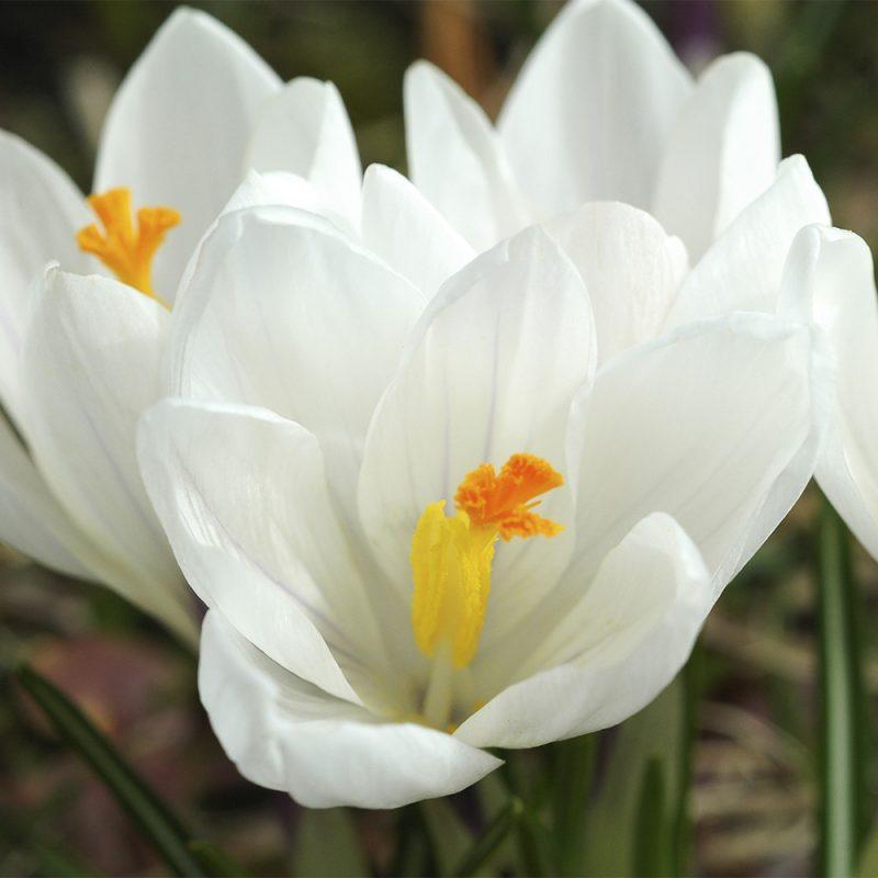 Krookus Crocus sp. valkoinen kukka