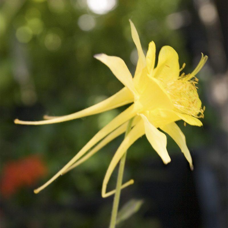 Kulta-akileija Aquilegia chrysantha