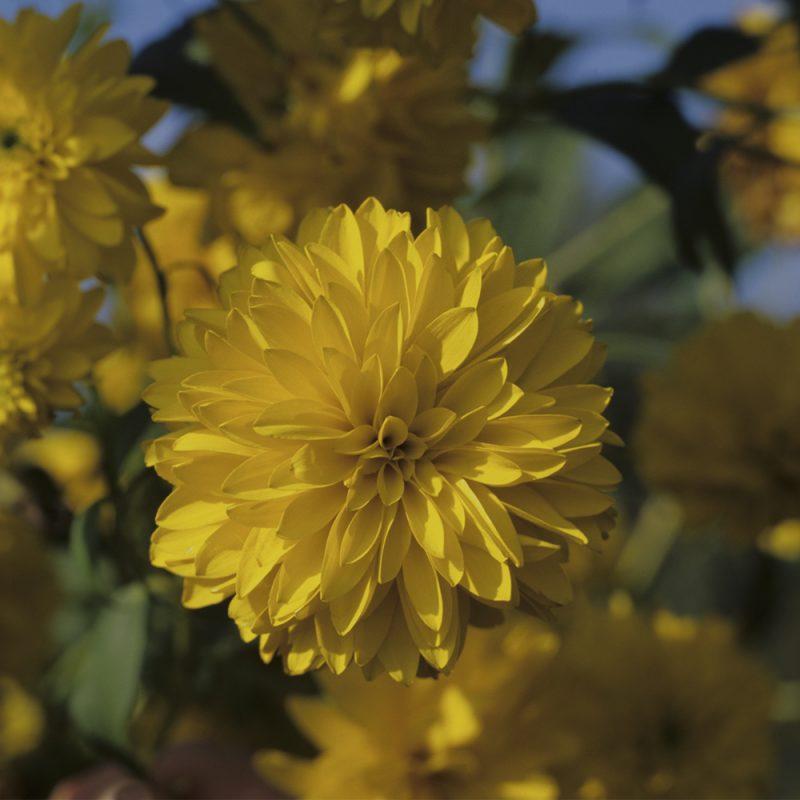 Kultapallo Rudbeckia laciniata 'Goldball'