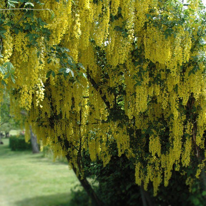 Kultasade Laburnum alpinum