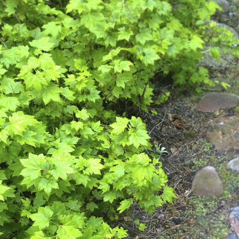 Lamoherukka Ribes glandulosum