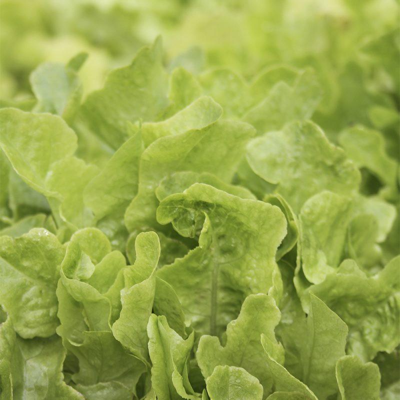 Lehtisalaatti Lactuca sativa