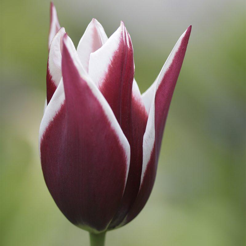 Liljakukkainen tulppaani Tulipa