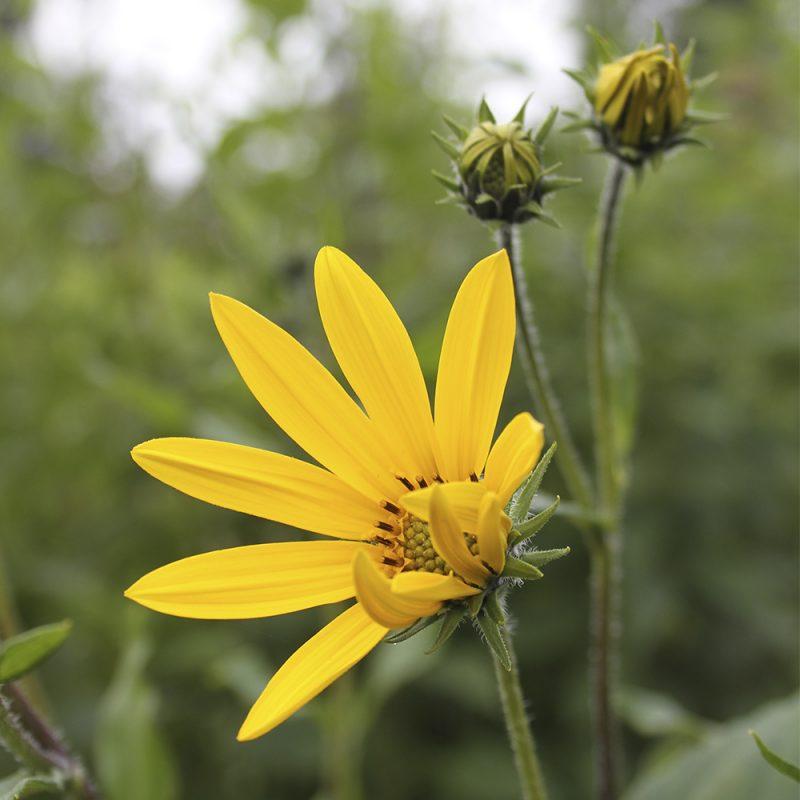 Maa-artisokan Helianthus tuberosus kukka