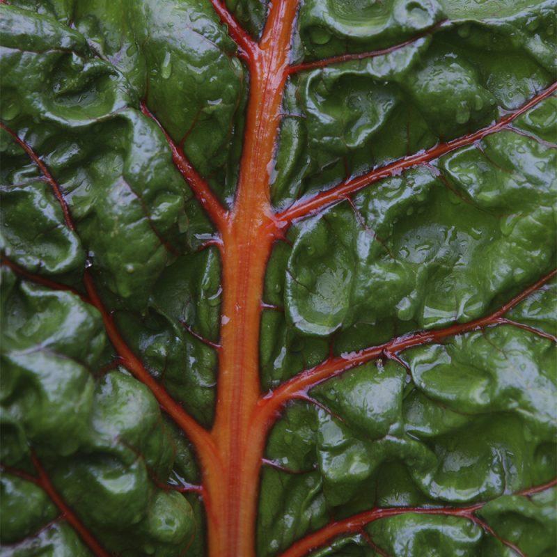 Mangoldi Beta vulgaris var. cicla, Beta vulgaris var. flavescens, lähikuva