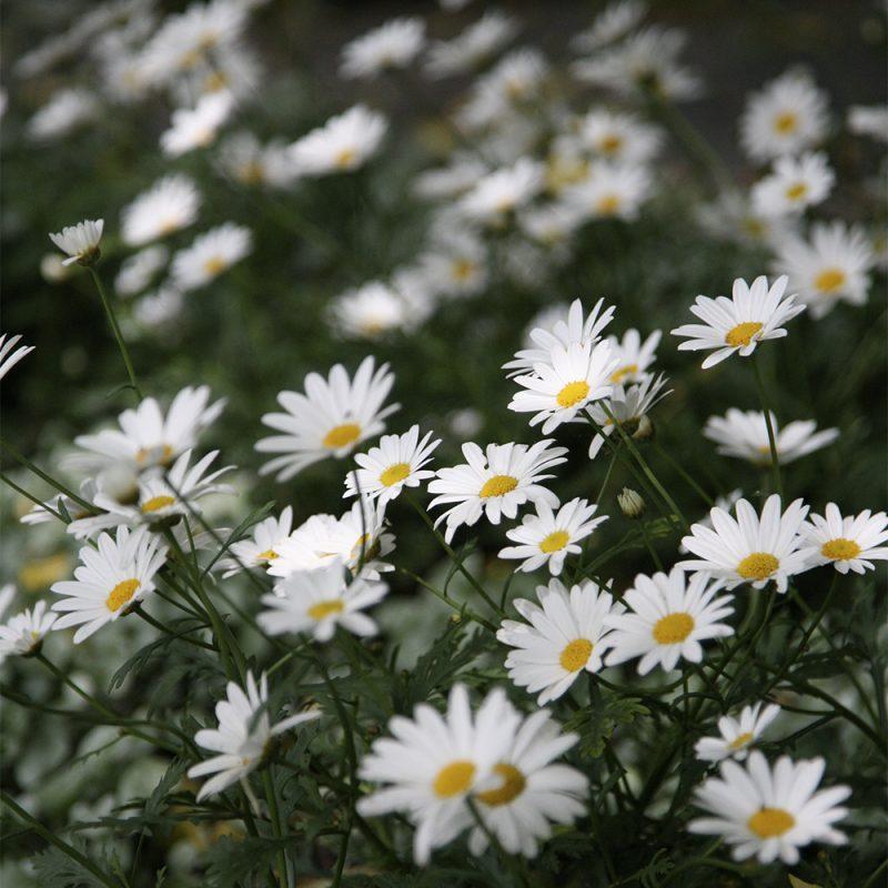 Marketta Argyranthemum frutescens