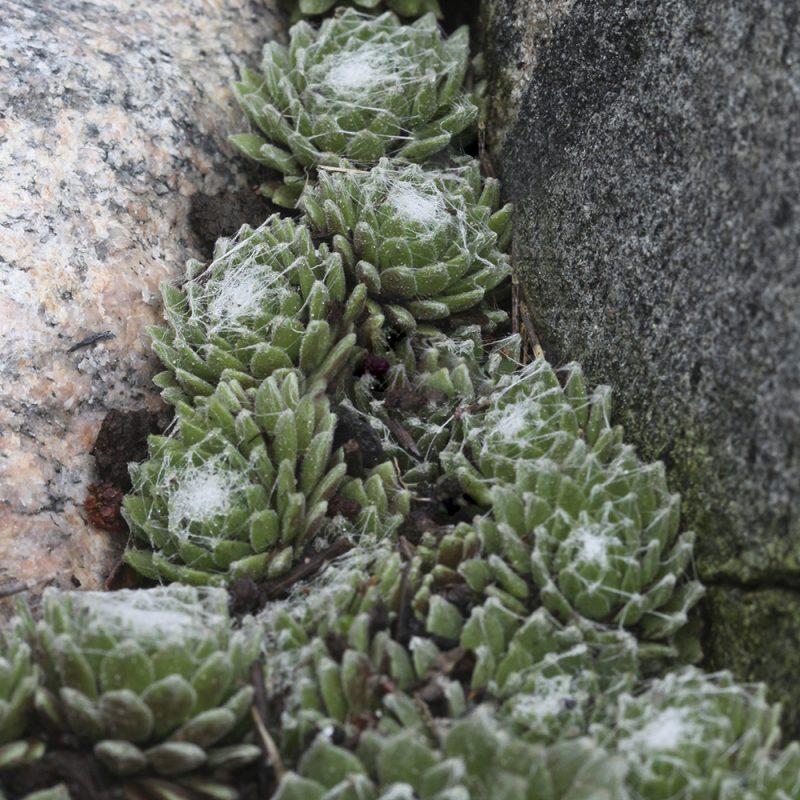 Mehitähdet Sempervivum kivien välissä