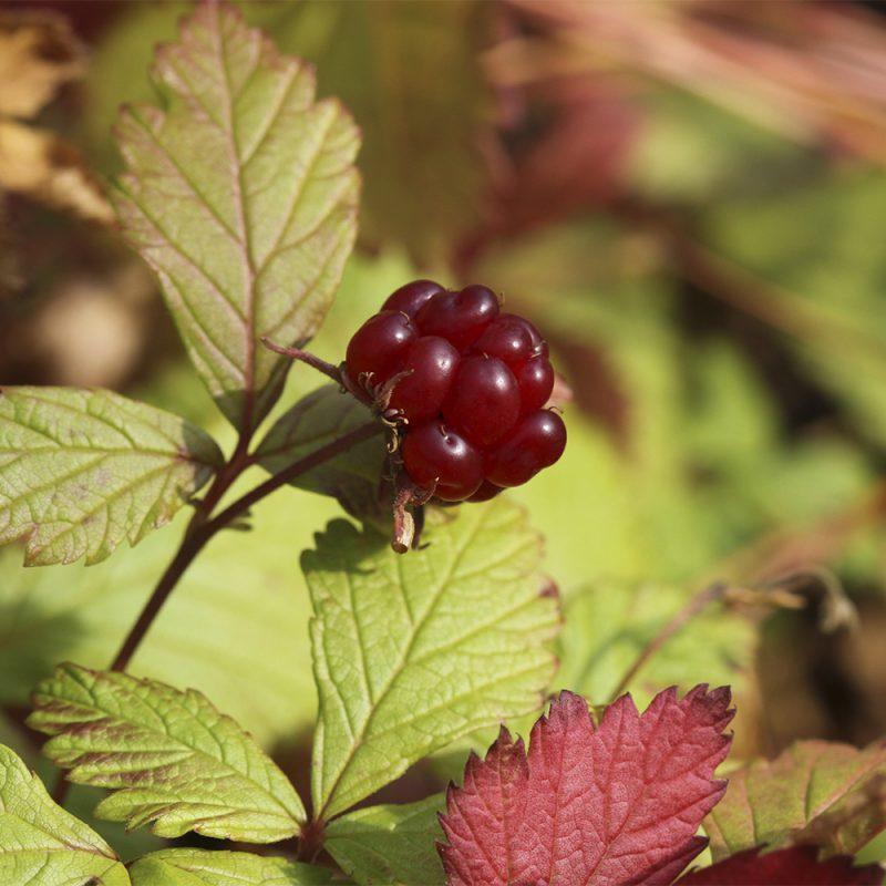 Mesimarja Rubus arcticus